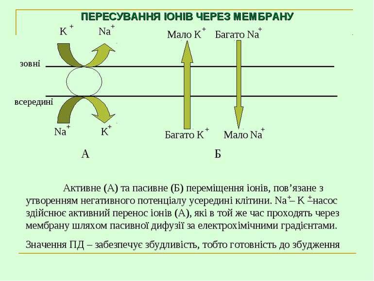 ПЕРЕСУВАННЯ ІОНІВ ЧЕРЕЗ МЕМБРАНУ Активне (А) та пасивне (Б) переміщення іонів...