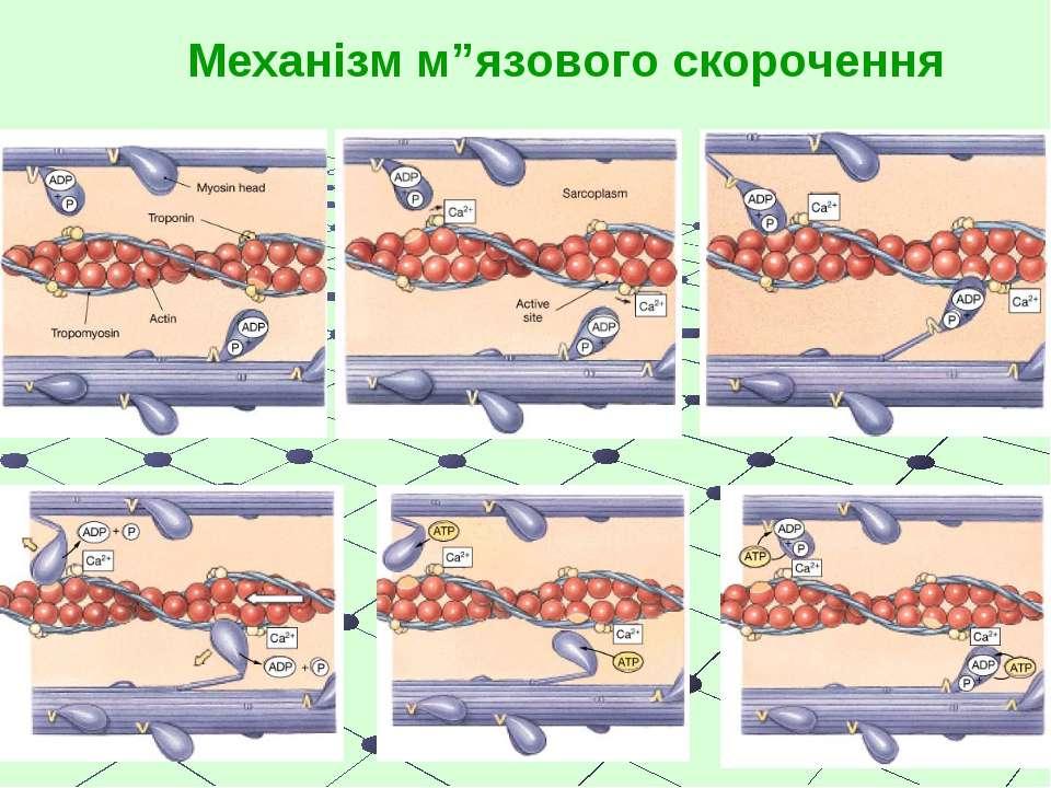 """Механізм м""""язового скорочення"""