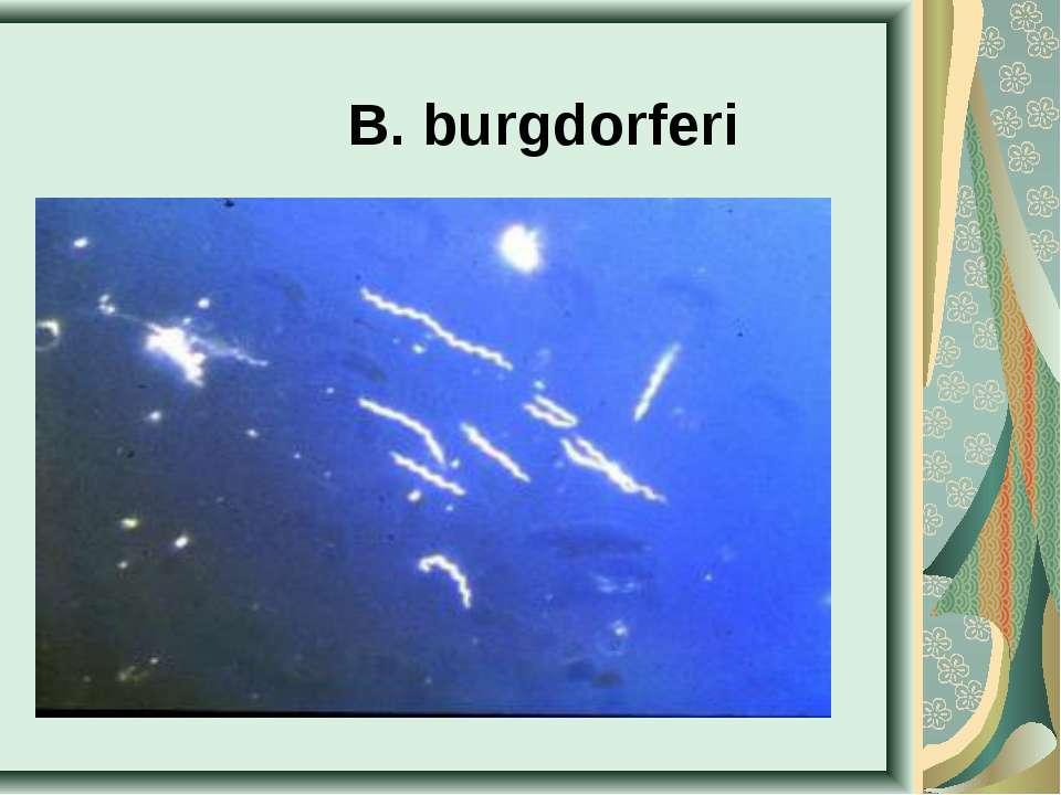 B. burgdorferi