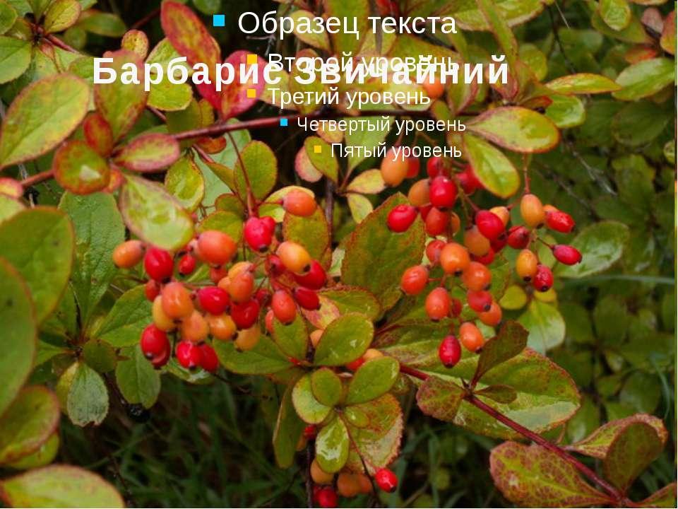 Барбарис Звичайний Барбари с (лат. Bérberis) —кущ з родини Барбарисових. У на...