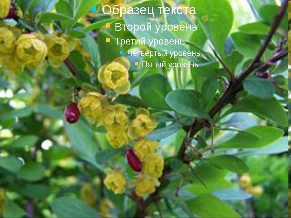Наприкінці весни барбарисовий кущ рясно вкривається світло-жовтими квіточками...