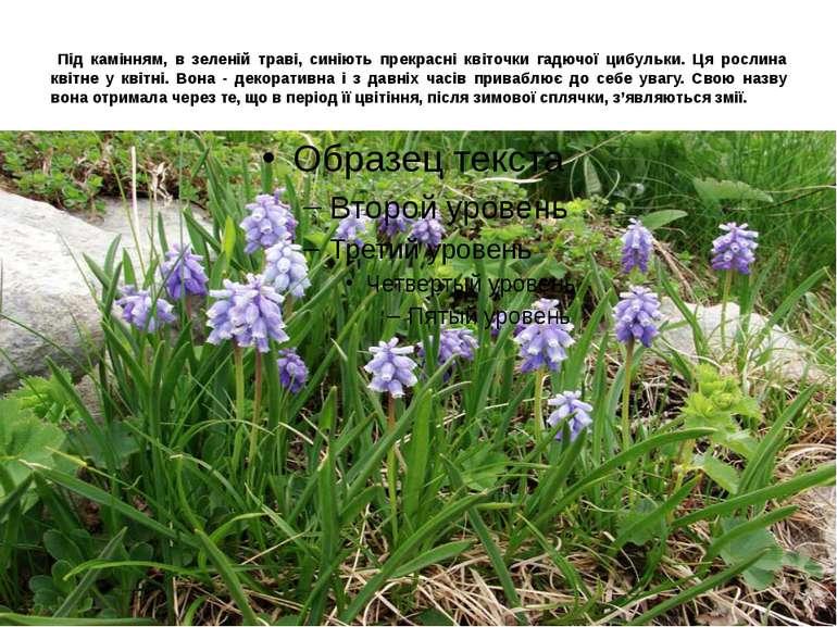 Під камінням, в зеленій траві, синіють прекрасні квіточки гадючої цибульки. Ц...