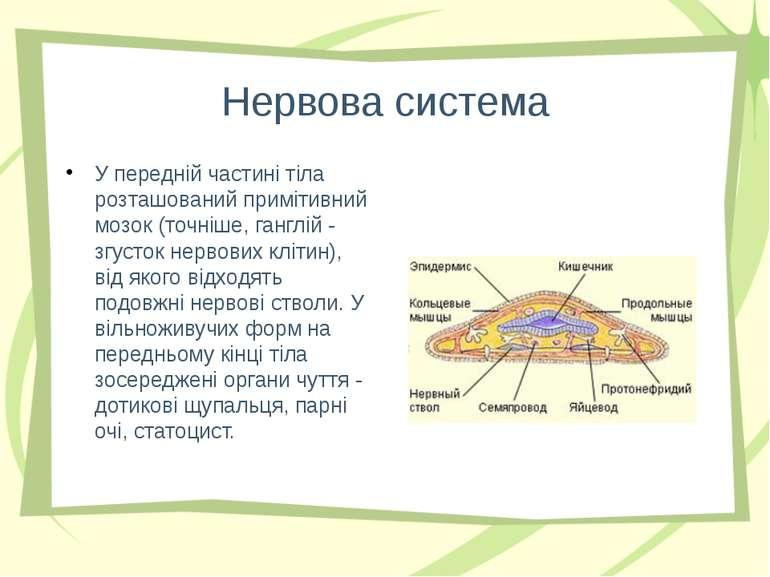 Нервова система У передній частині тіла розташований примітивний мозок (точні...