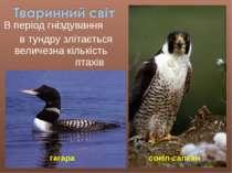 В період гніздування в тундру злітається величезна кількість птахів гагара со...