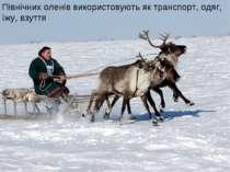Північних оленів використовують як транспорт, одяг, їжу, взуття