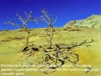 Рослинність пустинь дуже бідна. Саксаул – безлисте дерево з дуже довгим корін...