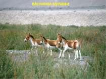 віслюки-кулани