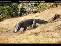 Величезна ящірка - варан