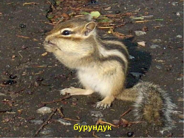 бурундук