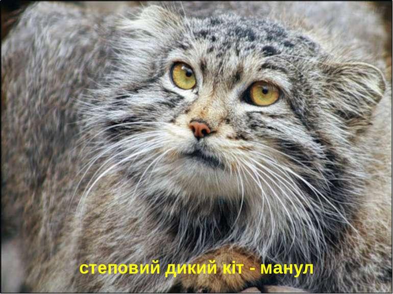 степовий дикий кіт - манул