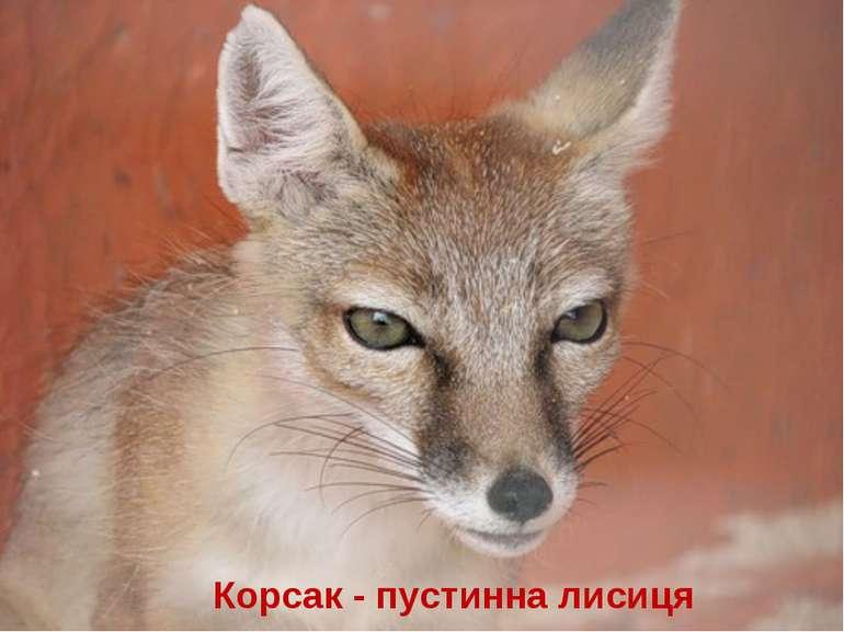 Корсак - пустинна лисиця