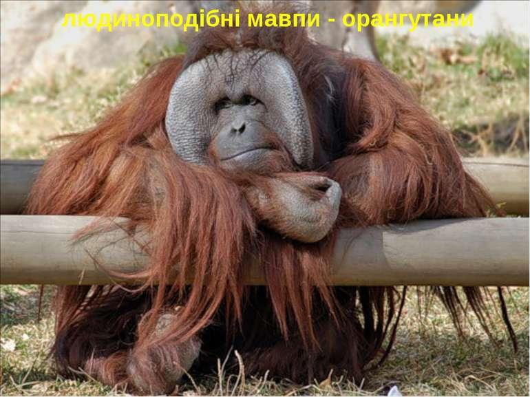 людиноподібні мавпи - орангутани