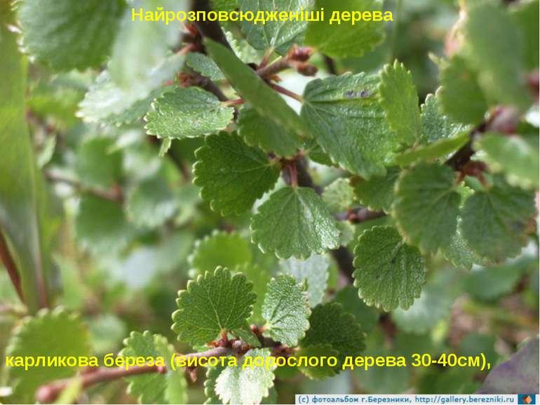 Найрозповсюдженіші дерева карликова береза (висота дорослого дерева 30-40см),