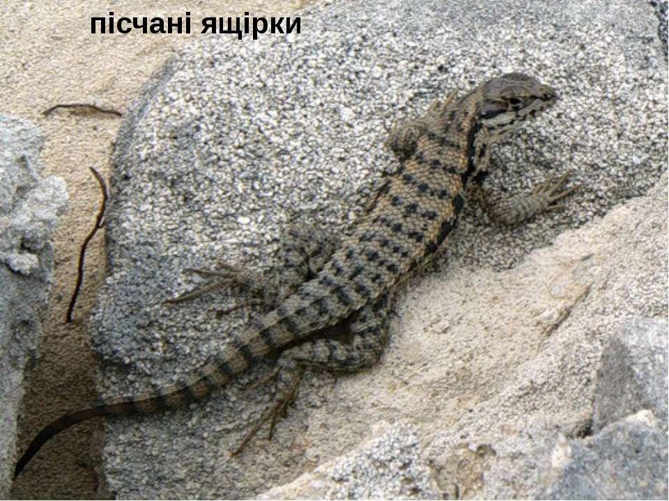 пісчані ящірки
