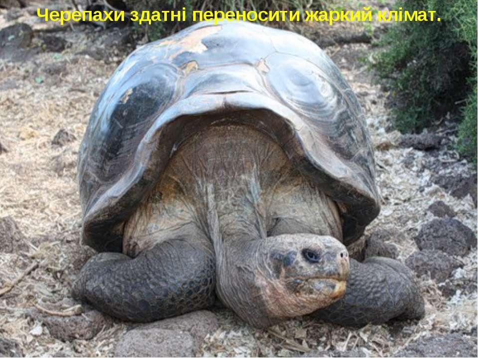 Черепахи здатні переносити жаркий клімат.