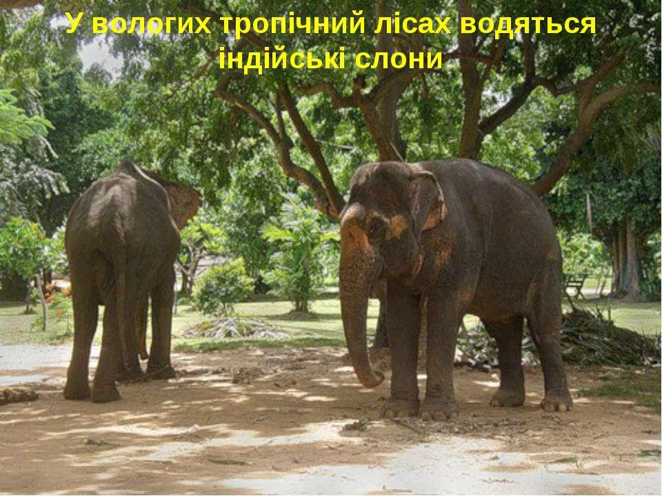 У вологих тропічний лісах водяться індійські слони