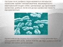 Наступна після профази стадія називається метафазою. Хромосоми, ваблені нитка...