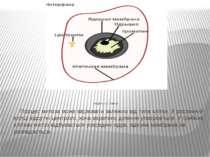 Модель9.2. Митоз. Процес митоза може варіювати залежно від типа клітки. У ро...