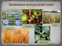 Замінники натуральної кави Цикорій Ячмінь Каштани Жолуді дуба Жито