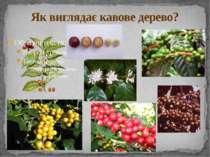 Як виглядає кавове дерево?