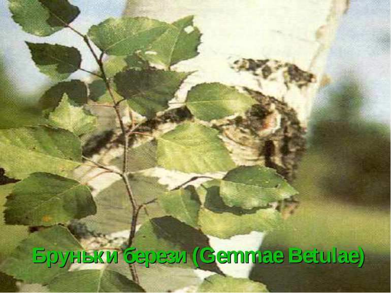 Бруньки берези (Gemmae Betulae)