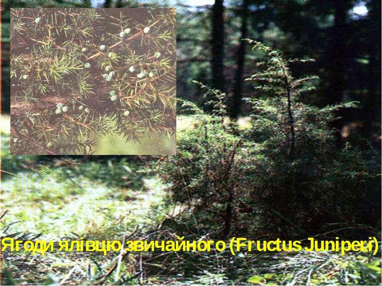 Ягоди ялівцю звичайного (Fructus Juniperi)