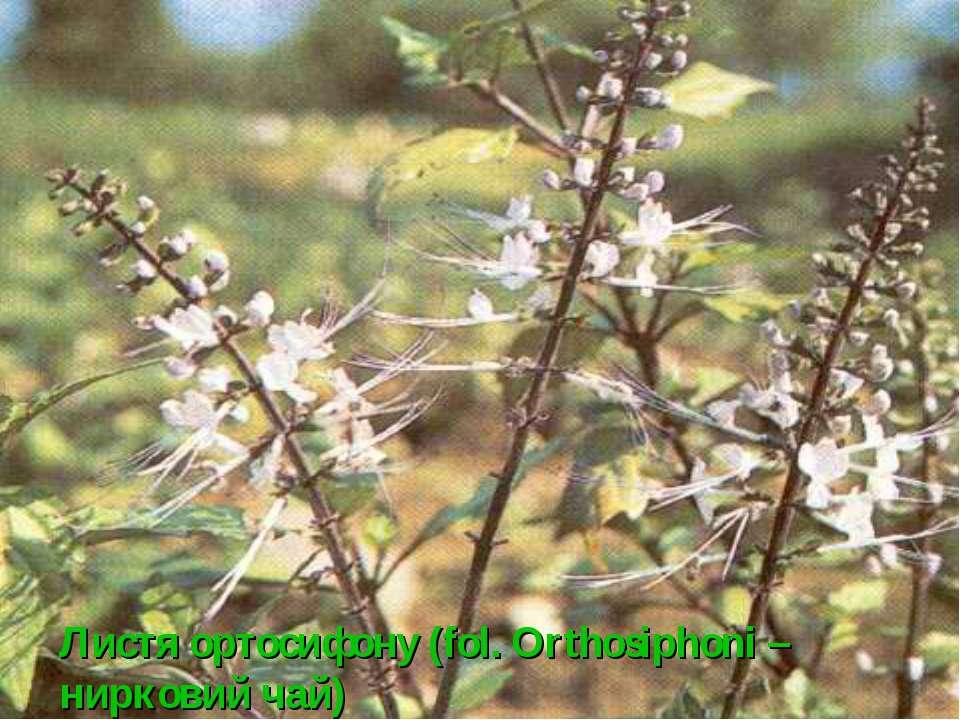 Листя ортосифону (fol. Orthosiphoni – нирковий чай)
