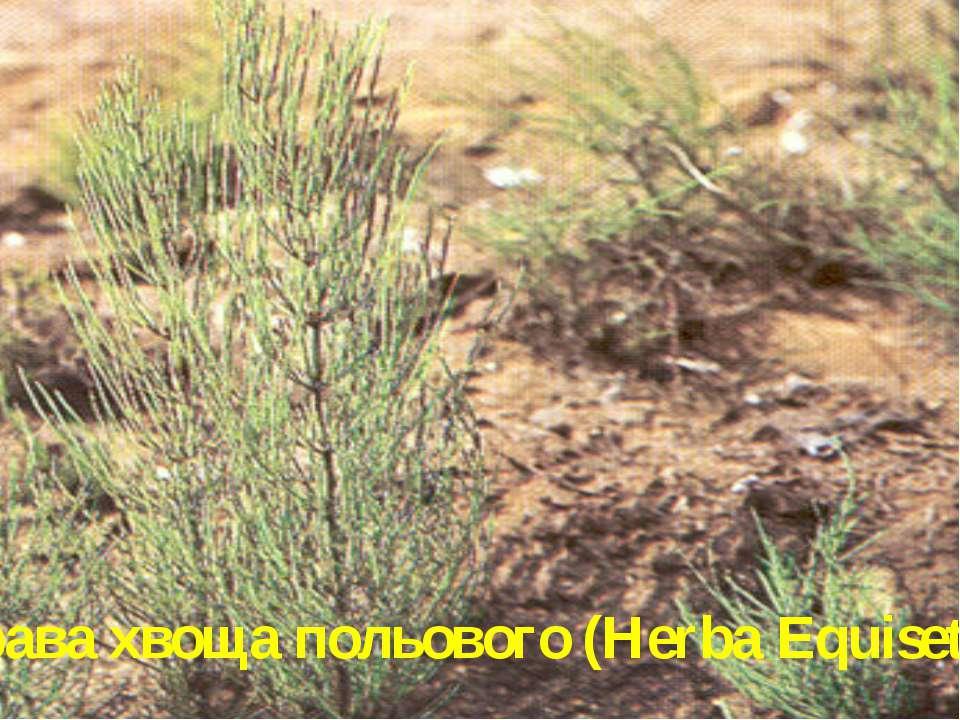 Трава хвоща польового (Herba Equiseti)