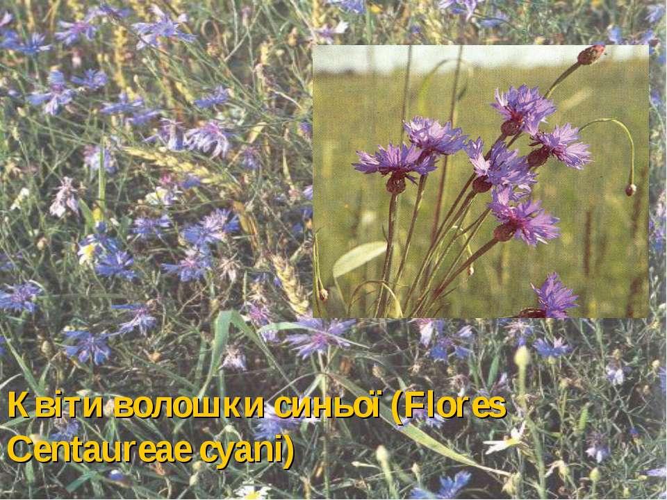 Квіти волошки синьої (Flores Centaureae cyani)