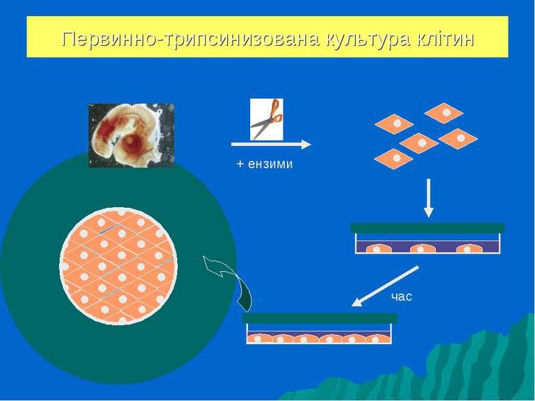 Первинно-трипсинизована культура клітин час