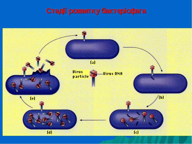 Стадії розвитку бактеріофага