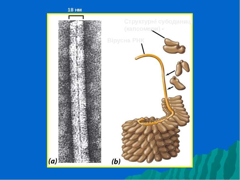 Структурні субодиниці (капсомери) Вірусна РНК 18 нм