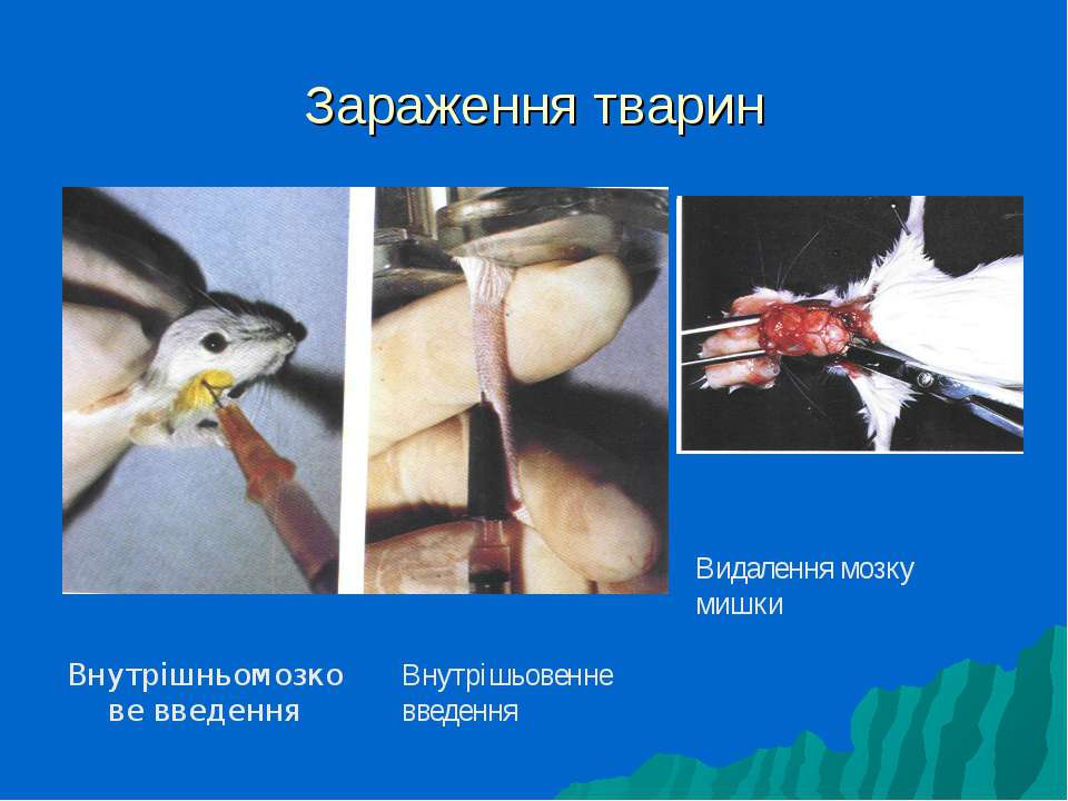 Зараження тварин Видалення мозку мишки Внутрішньомозкове введення Внутрішьове...