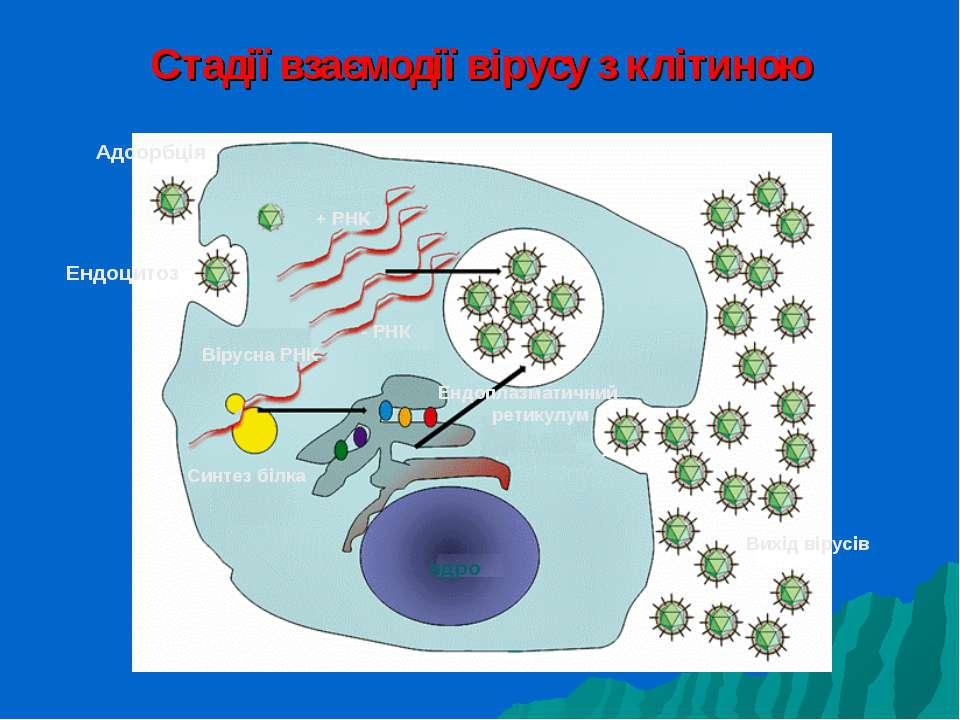 Стадії взаємодії вірусу з клітиною Адсорбція Ендоцитоз ядро Вірусна РНК + РНК...