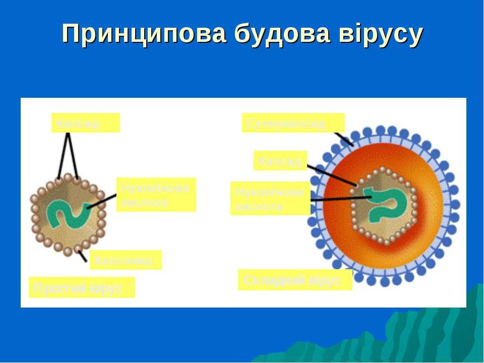 Принципова будова вірусу Капсид Нуклеїнова кислота Капсомер Простий вірус Суп...