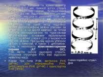 За моделлю Уотсона та Крика діаметр спіралі 1,8-2,0 нм. Кожний виток спіралі ...