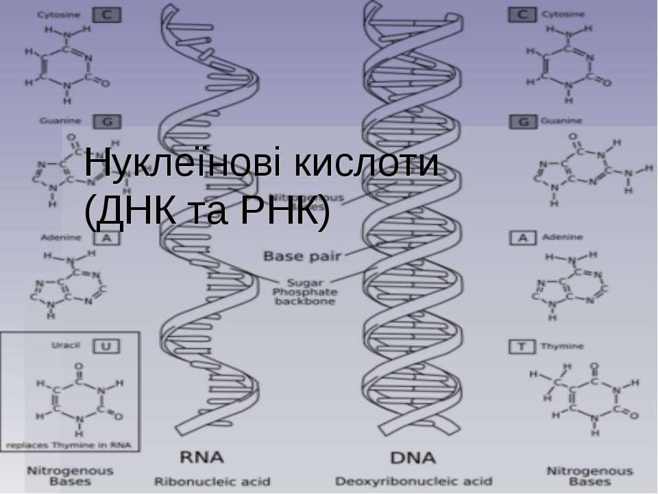Нуклеїнові кислоти (ДНК та РНК)