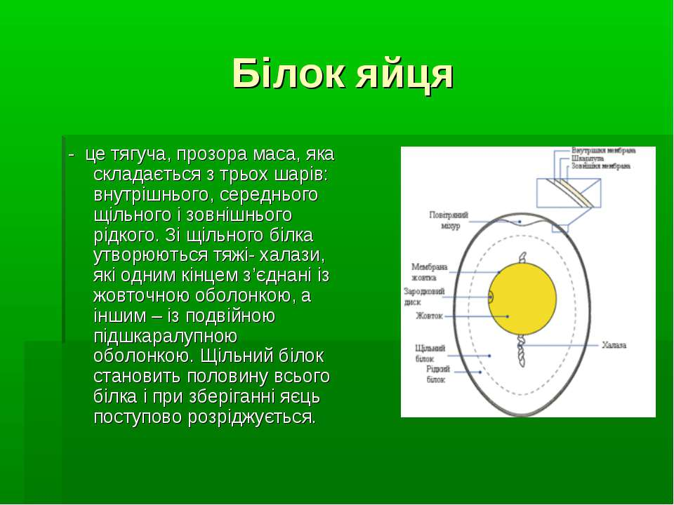 Білок яйця - це тягуча, прозора маса, яка складається з трьох шарів: внутрішн...