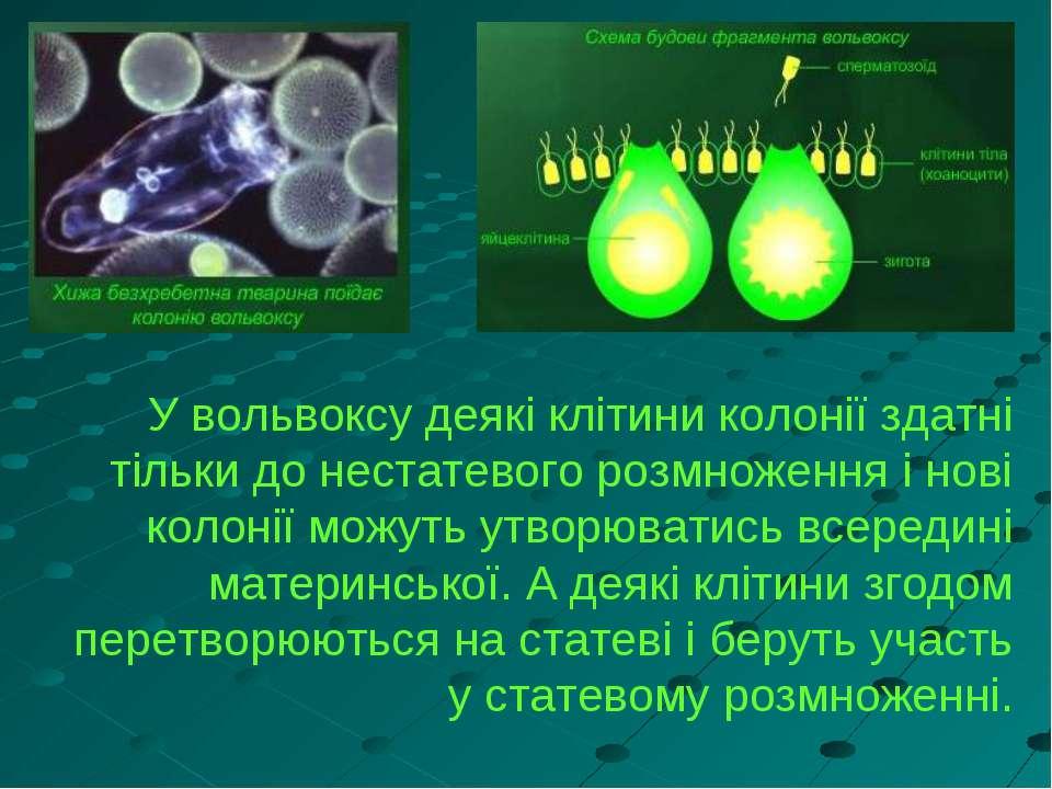 У вольвоксу деякі клітини колонії здатні тільки до нестатевого розмноження і ...
