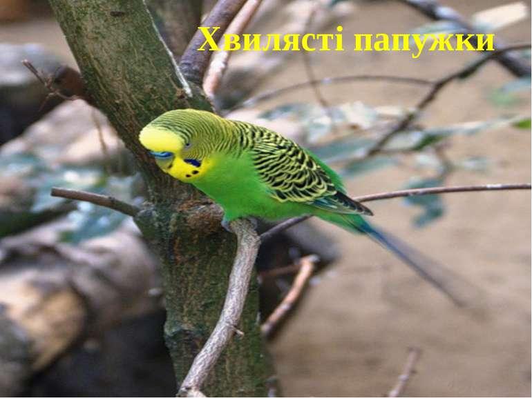 Хвилясті папужки