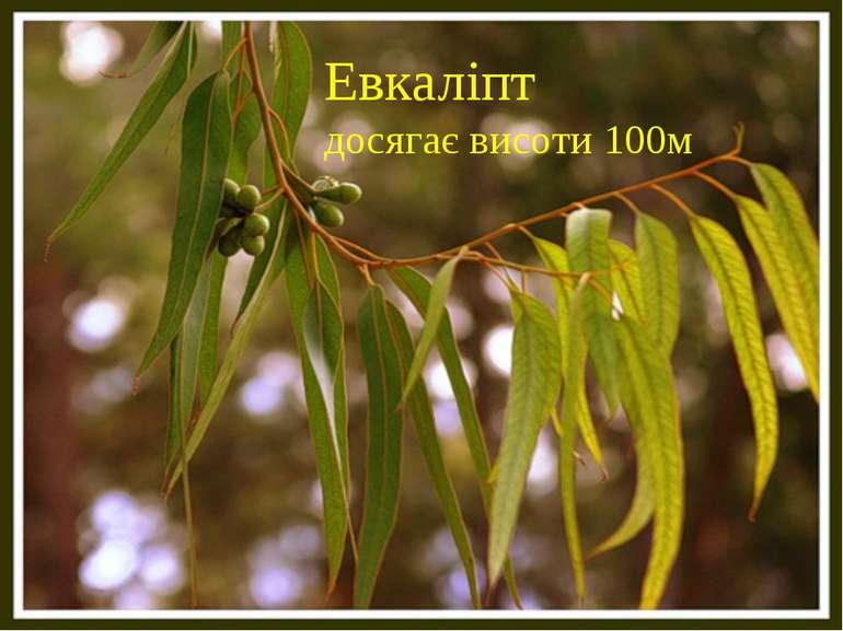 Евкаліпт досягає висоти 100м