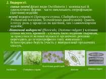 2. Водорості: синьо-зелені (різні види Oscіllatorіa ) колоніальні й однокліти...
