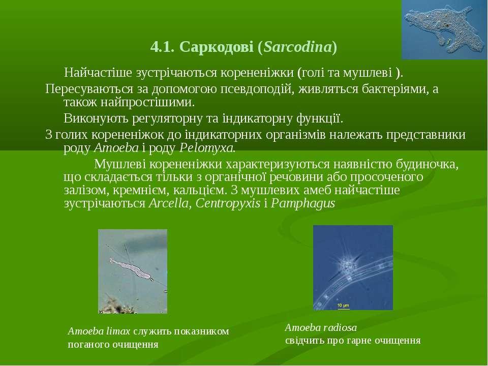 4.1. Саркодові (Sarcodіna) Найчастіше зустрічаються корененіжки (голі та мушл...