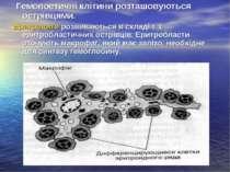 Гемопоетичні клітини розташовуються острівцями. Еритроцити розвиваються в скл...
