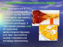 Жовтий кістковий мозок (ЖКМ) ЖКМ знаходиться в діафізах трубчастих кісток. У ...