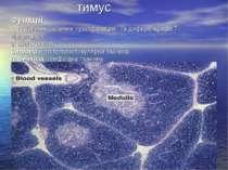 тимус Функції 1. Антигеннезалежна проліферація та диференціація Т- лімфоцитів...