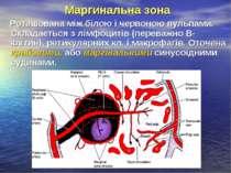Маргинальна зона Роташована між білою і червоною пульпами. Складається з лімф...