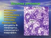Мозкова речовина Утворена мозковими тяжами, трабекулами і мозговими синусами....