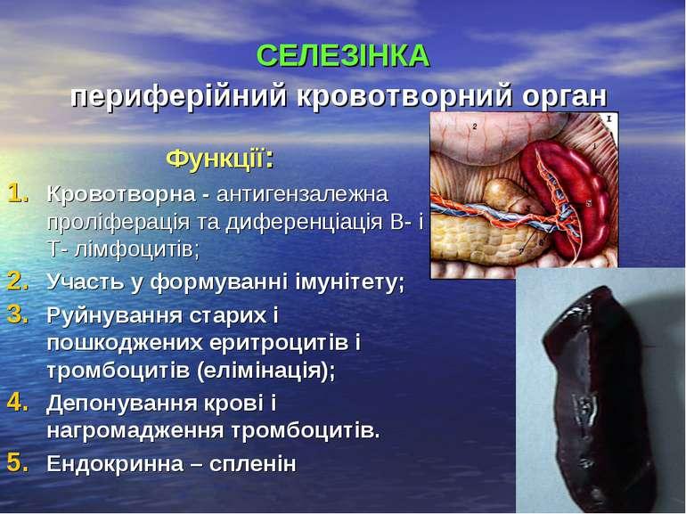 СЕЛЕЗІНКА периферійний кровотворний орган Функції: Кровотворна - антигензалеж...