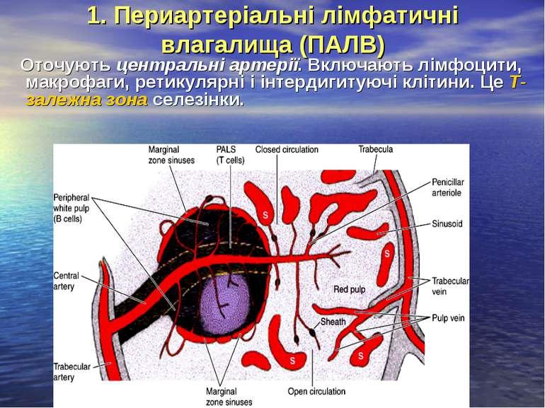 1. Периартеріальні лімфатичні влагалища (ПАЛВ) Оточують центральні артерії. В...